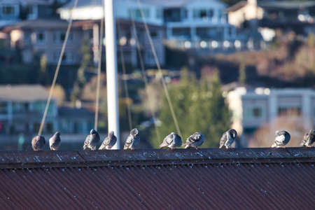A line of pigeons on a rooftop in gig harbor washington