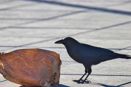 dark black crow pecking at a paper bag