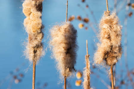fluffy cat tails on the bank of a marina