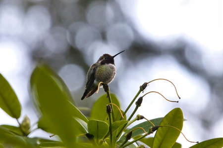 hummingbird on a thin rhododendron flower stamen