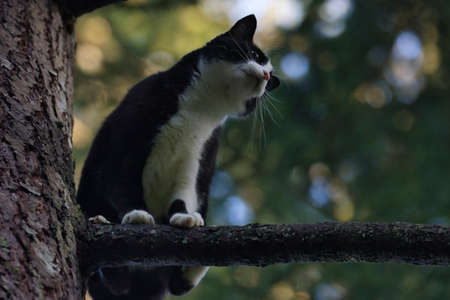black and white adult cat standing up in a pine tree