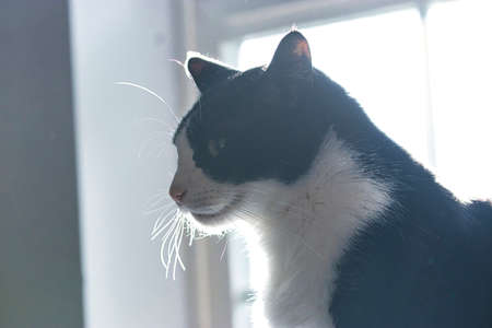 black and white cat in front of a window