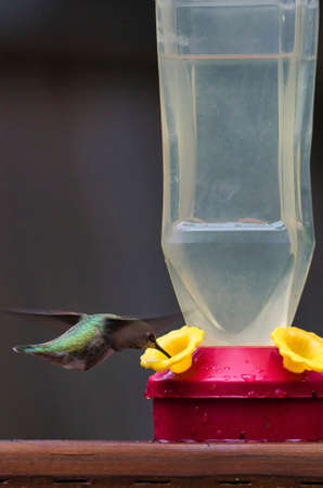 humming bird hovering around and drinking from feeder 스톡 콘텐츠