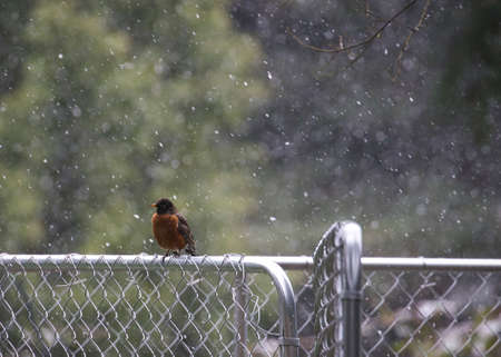 small robin on a fence with snow 스톡 콘텐츠