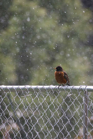 red robin in the snowfall on fence