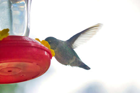 green female hummingbird drinking from a feeder in cold weather