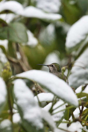 small hummingbird sitting up in a rhododendon in winter snow