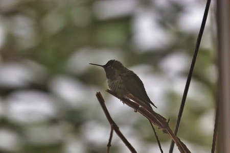 small hummingbird sitting up in a rhododendon in winter snow in shaddow
