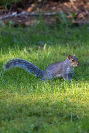 wild gray squirrel foraging around in a green lawn