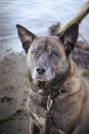 brindle dog sitting along side shoreline with leather leash