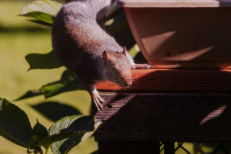 large gray squirrel playing near flowerpot on deck 스톡 콘텐츠