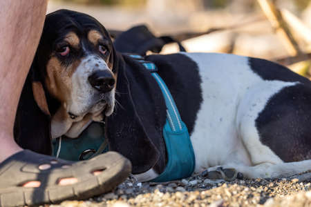 young basset hound laying next to owners feet on beach