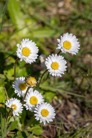 fresh daisies in full bloom growing wild in a park Stock fotó