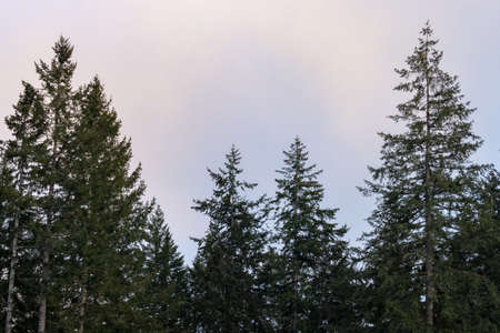 tall trees in a forest silhouetted against sky