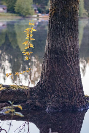 root base of a pine tree growing out of a lake
