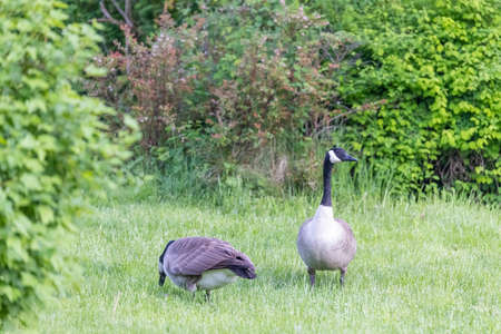 pair of canadian geese grazing in grass in natural park