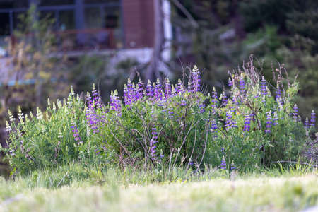 wild lupine flowers growing in early spring Фото со стока