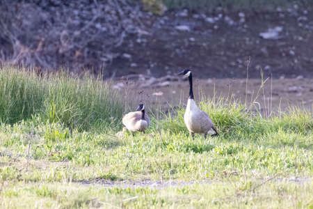 pair of wild canadian geese standing by the tall grass