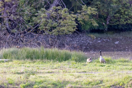 pair of geese grazing on over grown grass