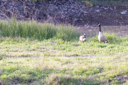 pair of canadian geese in large park field