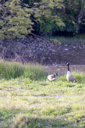 grassy field with two grazing canadian geese