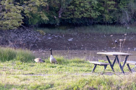 pair of wild canadian geese in park field