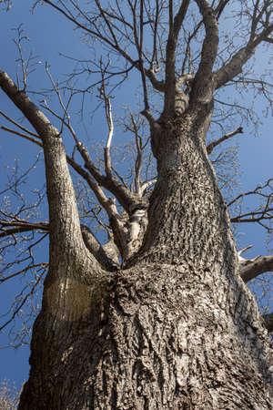 large old tree beneath a bright blue sky Фото со стока