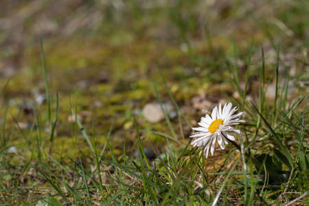 wild daisy growing out of the grass in spring