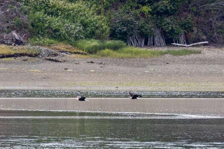 mating pair of bald eagles flying low together over puget sound