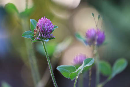 detailed purple clover with bokeh and blurred blooms in background Фото со стока