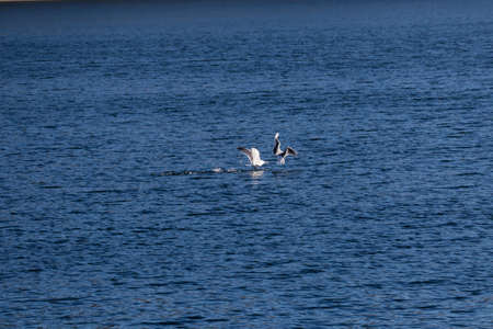 two seagulls fighting on the surface of the water