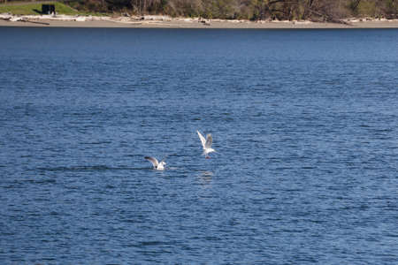 one seagull flying away from the other after a fight