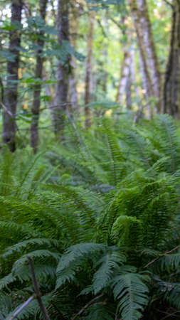 thick carpet of large ferns in forest