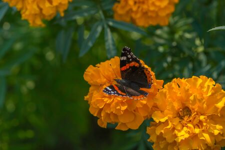 Red Admiral Butterfly on flower in the garden Stock Photo