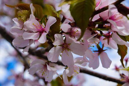 Pink White Tree Flowers Stock Photo