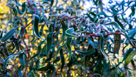 Photo, image of Twisted willow Salix erythroflexuosa in hoarfrost. Early autumn sunny morning. Frost on green leaves of Salix erythroflexuosa.