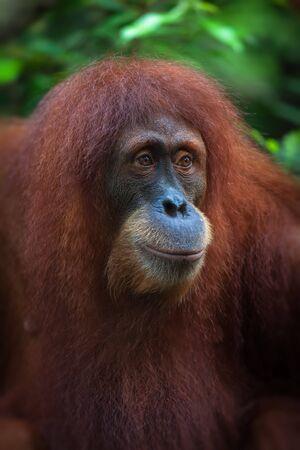 extant: Los orangutanes son dos especies exclusivamente asi�ticas de grandes simios existentes