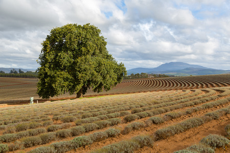 coma: Lonely tree in the middle of lavender field in Tasmania Stock Photo