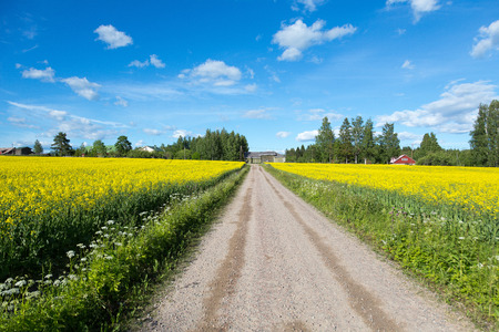 Rapeseed (Brassica napus), also known as rape, oilseed rape, rapa, rappi, rapaseed. Small road between field of bright yellow rapeseed in summer. Finland Stock Photo