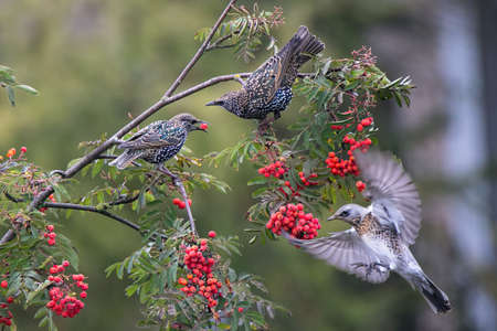Common starlings sits on a rowan branch. Red rowan berry in birds` beak. Fieldfare fly to delicious berries. There are many bunch ripe red berries on the tree. Wild birds on autumn nature. Banco de Imagens
