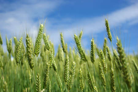 Tilt-up view of a field of wheat over a bright blue sky.
