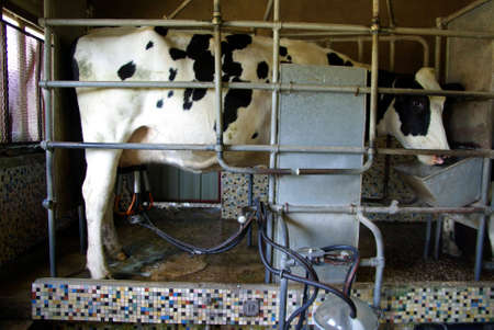 Cow being milked by a milking machine.