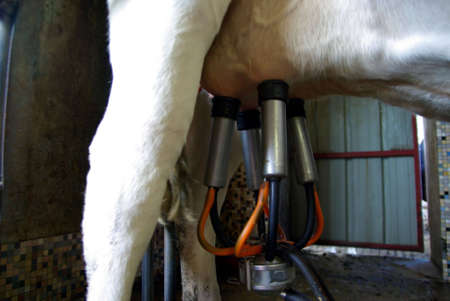 pasteurized: Detail of a cow udder with a milking machine Stock Photo