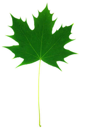 Detail view of a maple leaf over white background.