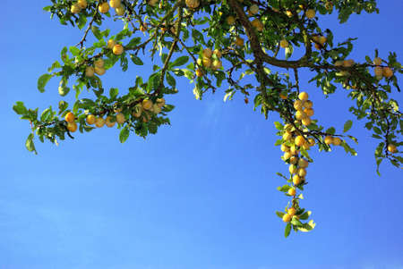 Detail view of a plum tree over blue sky. photo