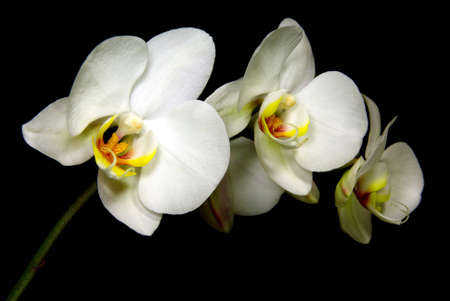 Isolated white orchid branch over black background