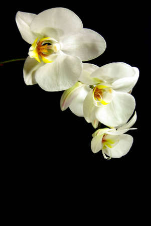 Vertical isolated white orchid branch over black background