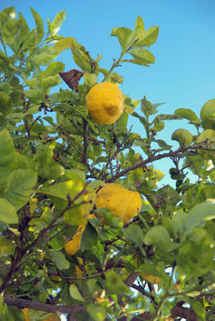 Detail view of a lemon tree over blue sky. photo
