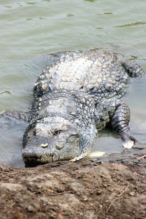 brackish water: Vertical image of a wild crocodile in a national park in Senegal.
