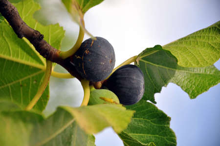 Detailed image of a bunch of figs on a tree. photo